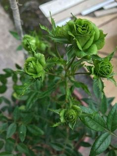 Green flowers on a rose. Rose Meaning, Rosa Rose, Rose Images, Flower Seeds, Green Flowers, Rose Flowers, Beautiful Roses, House Plants, Exotic