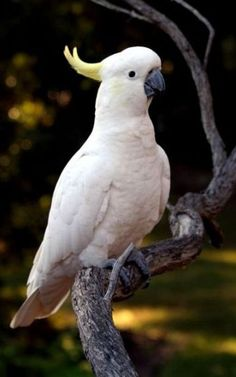 The Sulphur-crested Cockatoo (Cacatua galerita) is a relatively large white cockatoo found in wooded habitats in Australia and New Guinea. Funny Birds, Cute Birds, Pretty Birds, Beautiful Birds, Animals Beautiful, Cute Animals, Tropical Birds, Exotic Birds, Colorful Birds