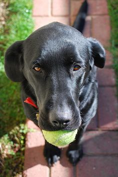 Looks just like Molly. And the tennis ball is very fitting, considering Molly is always begging me to play fetch with her. She will grab the ball, walk up to me and give me that same look. The only difference is Molly has a John Deere collar-<3