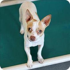 McKinney, TX - Chihuahua Mix. Meet Tamale, a dog for adoption. http://www.adoptapet.com/pet/11831031-mckinney-texas-chihuahua-mix