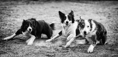 Ready?  Set?  Go!    (Herding Dog Love.)
