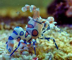 Camarão-arlequim (Hymenocera picta), é encontrado em recifes de corais no Índico e Pacífico tropical e se alimenta de estrelas do mar.