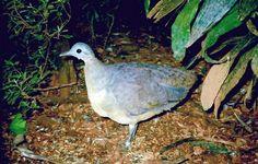 Inhambu-galinha (Tinamus guttatus)