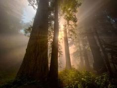 Redwoods California by AislingH