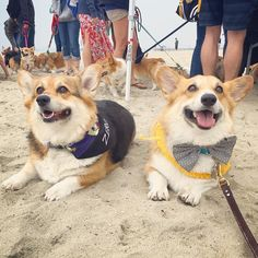 Happy #TwoCorgiTuesday! Check out my handsome Uncle Aqua! #TagbackTuesday #HappinessRunsInOurFamily #StablemateKennels #TwoTonguesOut #CorgiBeachDay by corgi_zero