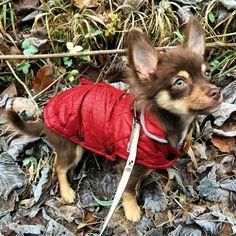 Chihuahua, Corgi, Fox, Animals, Corgis, Animales, Animaux, Animal, Chihuahua Dogs