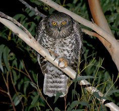 Image from http://www.owlpages.com/pictures/species-Ninox-strenua-27.jpg.