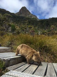 A Wombat at Cradle Mountain, Lake St Clair National Park, Tasmania Quokka, Australian Animals, Exotic Animals, Wombat, Australia Travel, Queensland Australia, Western Australia, Fauna, Landscape Photography