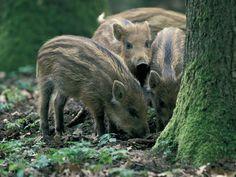 Italy - Lazio - Wild Boars (Cinghiali) from Gran Sasso-Laga National Park