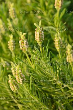 Image result for yellow lavender