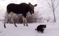Daily Cute: Moose And Cats Hang Out In The Snow   Care2 Causes