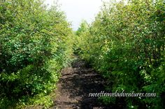 Large Saskatoon Berry Bushes on Pearson's Berry Farm near Bowden, Alberta, Canada