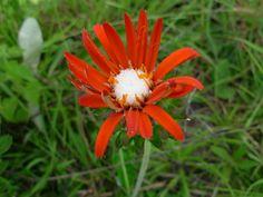Flora Digital do Rio Grande do Sul e de Santa Catarina: Trichocline macrocephala