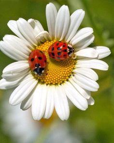 Beautiful Bugs, Beautiful Flowers, Pansy Tattoo, June Flower, Ladybug Art, Daisy Love, Coloured Girls, Glass Flowers, Arte Floral