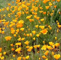 California Poppy It's really funny; plant a pound of seed and get one or two plants (the quail show up and eat all the seeds) and plant 3 plants and get hundreds of new plants the next year. They have reseeded in open mineral soils and areas mulched with coast live oak leaf mulch. The poppies don't care, they like the garden.