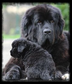 Cheyenne et son bébé terranova Cute Puppies, Cute Dogs, Dogs And Puppies, Doggies, Cute Baby Animals, Animals And Pets, Dog Breeds Little, English Dogs, Terra Nova