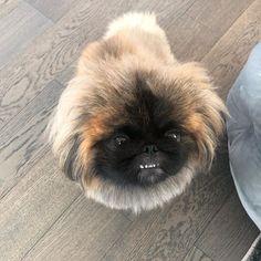 Pekingese Puppies, I Love Dogs, Dog Cat, Smile, Pets, Animals, Animales, Animaux, Animal