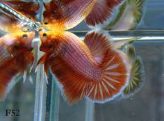 Orange Pearl Dragon Male Halfmoon Plakat Halfmoon Betta, Betta Fish, Siamese Fighting Fish, Aqua, Dragon, Pearl, Passion, Orange, Beautiful
