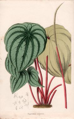 1867 Botanical Print Plant Illustration by AntiquePrintGarden
