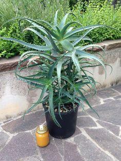 Aloe Arborescens: pianta con 6 anni di età: http://erbedimauro.it/prodotto/piante-aloe-arborescens-6-anni/
