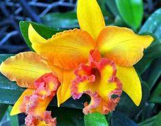 Cathleya orchids