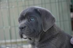 Cane Corso Cane Corso Mastiff, Animal Pictures, Labrador Retriever, Pitbulls, Dogs, Animal Welfare, Puppies, Mom, Animaux