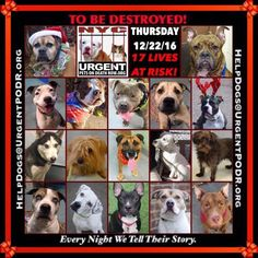 TO BE DESTROYED 12/22/16 - - Info Please Share: To rescue a Death Row Dog, Please read this:http://information.urgentpodr.org/adoption-info-and-list-of-rescues/ To view the full album, please click here: http://nycdogs.urgentpodr.org/tbd-dogs-page/ - Click for info & Current Status: http://nycdogs.urgentpodr.org/to-be-destroyed-4915/