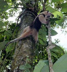 Anteater, a #CostaRica Citizen