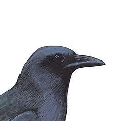 American Crow. Painted and © by David Sibley