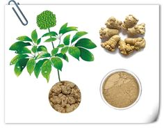 1, Latin Name:    #Panax #pseudoginseng 2, Part Used:   Root & Whole Herb. 3, Active ingredients: #Notoginsenosides 4, Specification:  #Notoginsenosides UV 10%-80% http://www.apitechina.com/notoginseng-powder