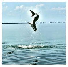 Jumping tarpon in Boca Grande, Florida. #bocagrande