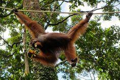 Borneo: Lisa wird euch heute über ihre Reise in den Regenwald erzählen. Wo genau ging es hin? Nach Sandakan, Sepilok & Sukau...