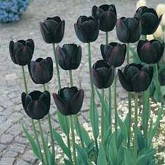 "Kinda weird but I may try this for a black and white garden. ""queen of the night tulip"""