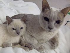 another pinner-My Tonkinese cats, Tasha (right) and Mischa (left), Mischa is 14 weeks old Animals And Pets, Baby Animals, Cute Animals, Kittens Cutest, Cats And Kittens, Domestic Cat Breeds, Tonkinese Cat, Hate Cats, Cat Boarding