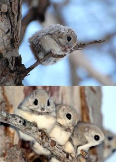 Japanese dwarf flying squirrels. So cute!!