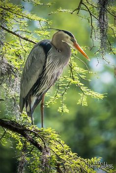 Great Blue Heron at Greenfield Lake, Wilmington, NC Pretty Birds, Beautiful Birds, Animals Beautiful, Exotic Birds, Colorful Birds, Shorebirds, Galo, Mundo Animal, All Birds