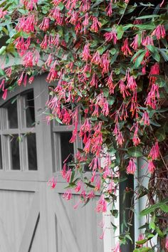 Throughout this perennial's long bloom time, from mid-June through September, its trumpet-shaped blossoms can perfume your entire garden. Coral honeysuckle will twine around anything in its path, scaling a 10- to 15-foot trellis in a single season, and attract hummingbirds as well.