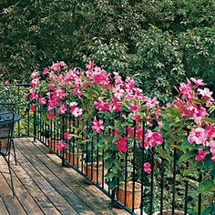 Mandevilla—Mandevillas in containers twine through this railing on a rooftop deck. Reveling in hot weather, mandevilla can grow more than 10 feet a year. | SouthernLiving.com