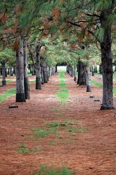 The Tree Farm in Chico, CA is a great place to take a walk, take family photos, or walk your dog! Beautiful scenary!