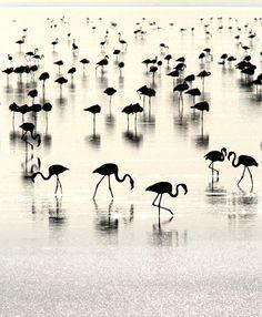 Photograph Flamingoscape - Flamingos in their world by Kiran Sham on 500px