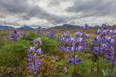 Arctic lupine in the Arctic National Wildlife Refuge