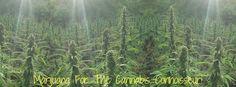 Marijuana for the cannabis    connoisseur