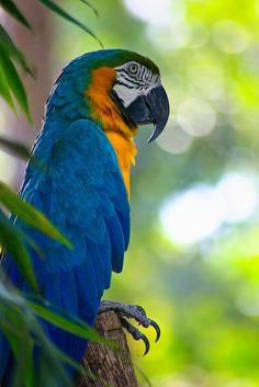 BLUE-AND-YELLOW MACAW - Ara ararauna. . .Also Blue-and Gold Macaw. . . Panama, Venezuela to Brazil, Bolivia, Paraguay
