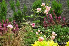 Mój nowy stary ogród - strona 72 - Forum ogrodnicze - Ogrodowisko