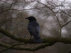 """The Murmuring Cottage This makes me think of """".quoth the raven, """"Nevermore! Samhain, Michael Cole, Quoth The Raven, Photo Animaliere, Yennefer Of Vengerberg, Jackdaw, Crows Ravens, Pet Birds, Creatures"""