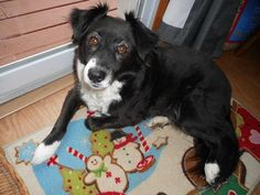 Adopted February 2017! Maggie is a six-year-old border collie mix that is small for her breed. She's fabulous with other dogs. Maggie oxo likes children over the age of five and does well in the home while you are away. She's housebroken