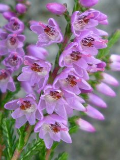heather and great Garden products here...visit now ...something for every garden...http://smbandhealthsydney.blogspot.com.au/2012/09/gardening-of-interest-then-there-is.html
