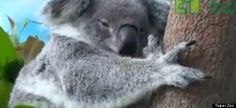 We can't get over this video of a baby koala from the Taipei Zoo peeking out of its mom's pouch.  According to National Geographic, a baby koala lives in the mother's pouch for around six months after it's born. After it ventures out into the world...
