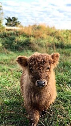 18 Adorable Cow Photos That Prove They Are Just Big Dogs - meowlogy Cute Baby Cow, Baby Cows, Cute Cows, Baby Elephants, Elephant Baby, Fluffy Cows, Fluffy Animals, Animals And Pets, Wild Animals