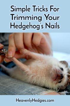Tiny Hedgehog nails Just some simple tricks to help you trim your hedgehog's nails like a pro. Albino Hedgehog, Hedgehog Care, Baby Hedgehog, Homemade Cat Toys, Class Pet, Guinea Pig Toys, Guinea Pigs, Pocket Pet, Hedgehogs